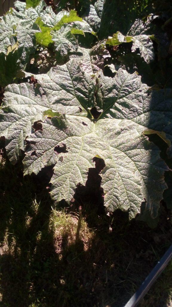 Gunnera chilensis, mauvaises herbes imposantes du Sud du Chili