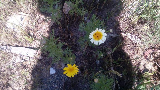 Mauvaises herbes des champs, les camomilles des teinturiers attirent de nombreux insectes, ces fleurs donnent un très joli jaune d'or