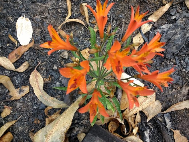 Cette jolie fleur a poussé juste après l'incendie d'un bois d'eucalyptus