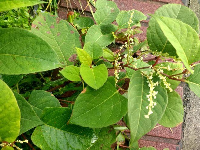 Mauvaises herbes des villes, Reynutria Japonica ou Fallopia Japonica