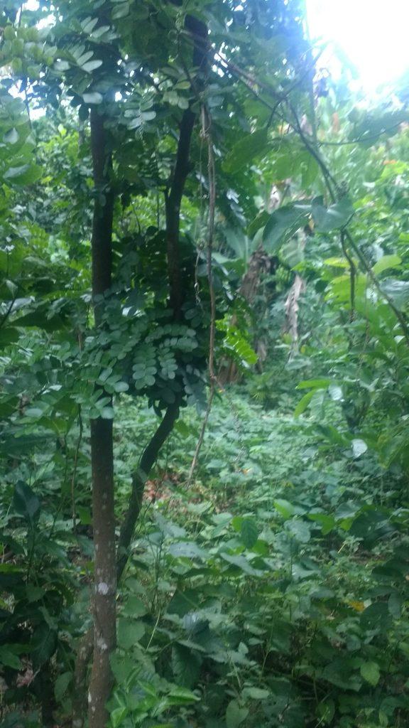 Pau Brasil, á l'Agroforestrerie de mon ami Rodrigo au Brésil, cet arbre fait partie des végétaux voyageurs à ses dépens, sa réputation lui a coûté cher