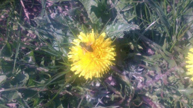 Les premières abeilles du printemps préfèrent curieusement les pissenlits au romarin en fleur