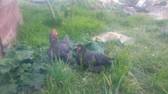 Les poules pondent plus au printemps