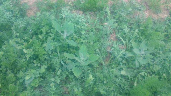Mauvaises herbes de seconde génération, les chénopodes