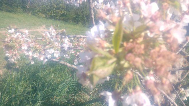 Les premières fleurs fanent déjà et apparaissent des feuilles...