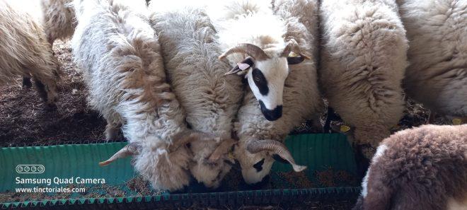 écharpe moutons de Gilles, quelle écharpe vont-ils donner?
