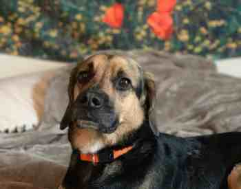 The German Shepherd Beagle Mix: Are You Up To The Challenge?