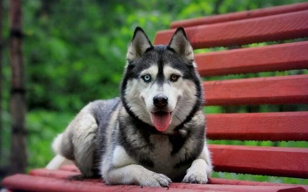 The Gerberian Shepsky: Combining The World's Most Popular Pooches 7 The Gerberian Shepsky: Combining The World's Most Popular Pooches