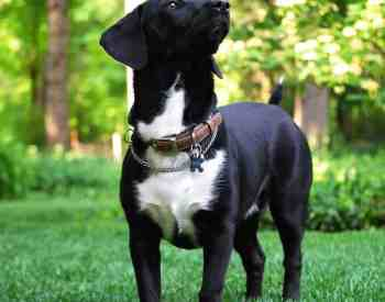 The Dachshund Labrador Mix – Short On The Legs But Big On Heart
