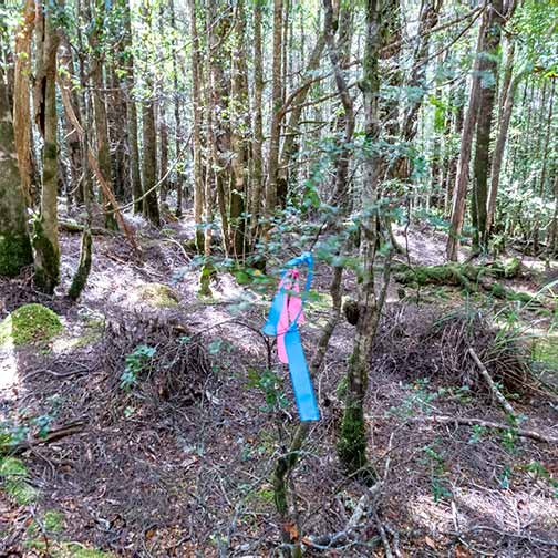 Blue and pink ribbons mark the track circuit, Rock-shel walk Mount Victoria forestry reserve Tasmania