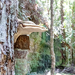 White bracket fungus on the side of a tree near the Rock Shelf in the Mount Victoria Forestry reserve in Tasmania