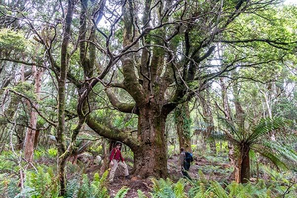 Giant tree on Mount Scott in North East Tasmania