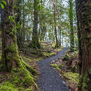 Gravel walking path is winding through myrtle temperate rain forest in mount Victoria forest reserve