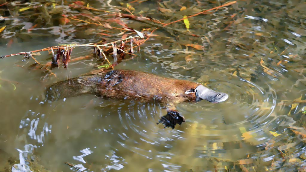 Where can I see a platypus? This photo shows a platypus floating on the surface of a creek in Tasmania.
