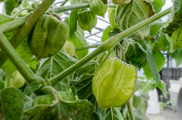 Unripe cape gooseberries on a bush look like soft furry green lanterns, with a green fruit inside.