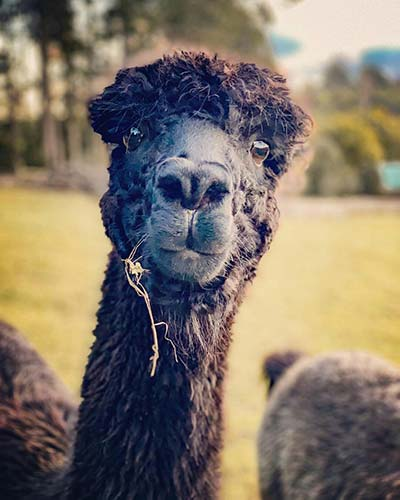 Portrait of a black alpaca looking directly at the camera.