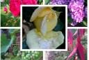 Collage mit gelber Rose
