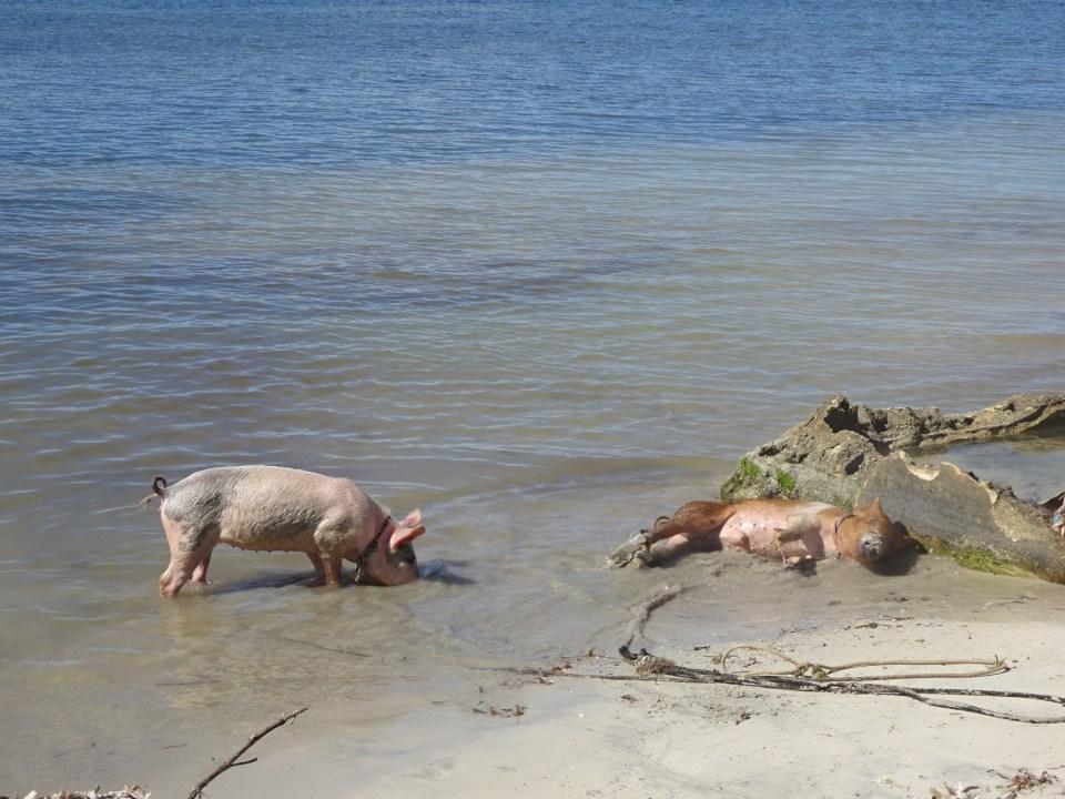 Kubanische Bade-Schweine