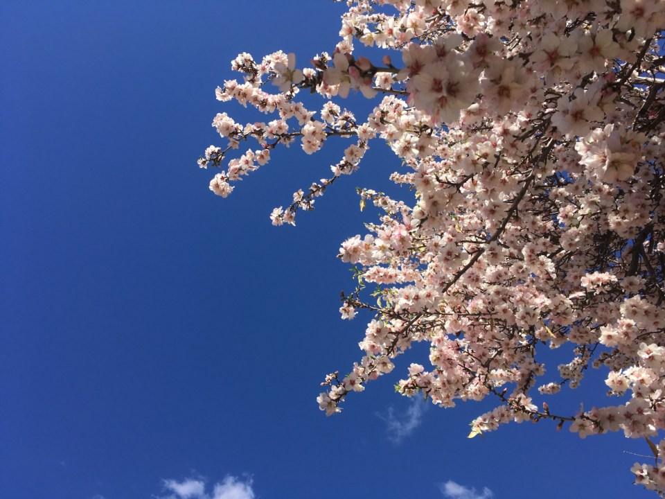 Mandelblüte I