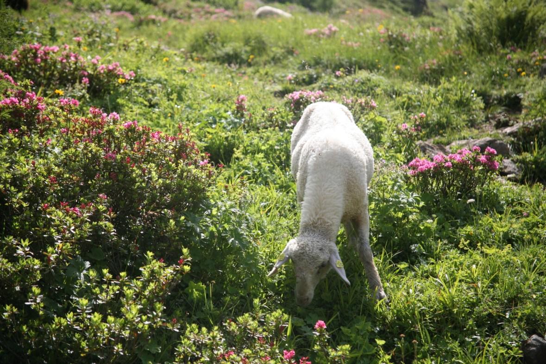 Weißes Schaaf am Wildseeloder