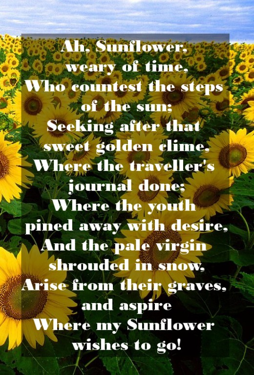 Sunflower Love Quotes : sunflower, quotes, Sunflower, Sayings,, Quotes, Sentiments