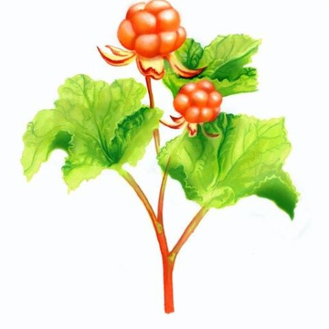 Cloudberries pantone illustration
