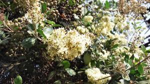 Lawsonia Inermi henna