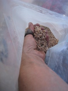 A hand full of winter wheat.