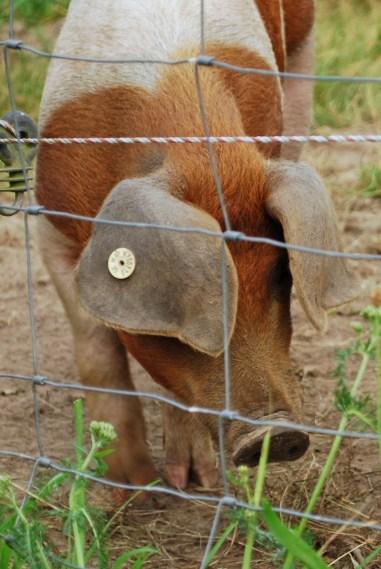 5 Gründe weniger tierische Produkte zu konsumieren, warum vegan, Vegan Gründe
