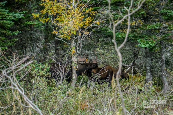 THGJ Cabot Trail - Moose