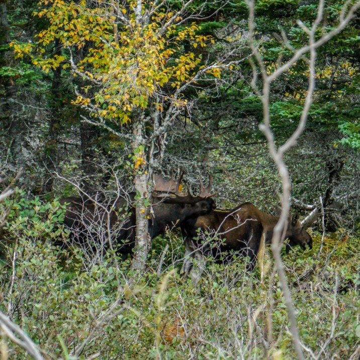 THGJ Cabot Trail - Moose