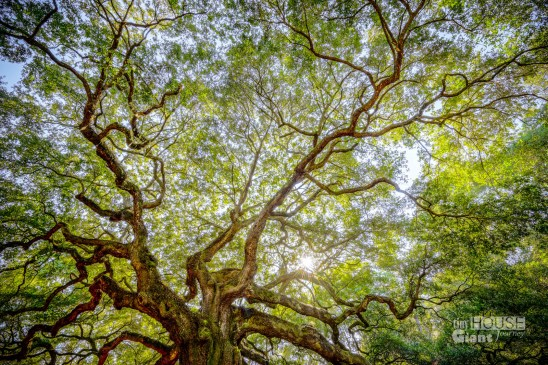 THGJ Angel Oak - 0004