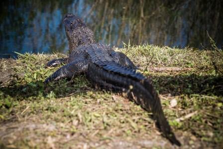 THGJ Everglades Anhinga Trail - 0017