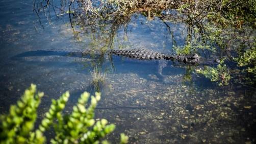 THGJ Everglades Anhinga Trail - 0024