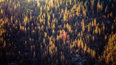 Yosemite Trees - 0002