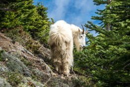 Mt Ellinor Hike And Mountain Goats - 0003