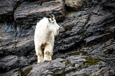 Mt Ellinor Hike And Mountain Goats - 0012