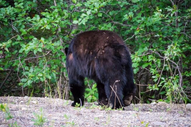 A Bear's Butt