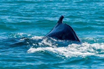 Humpback Whale - 0003