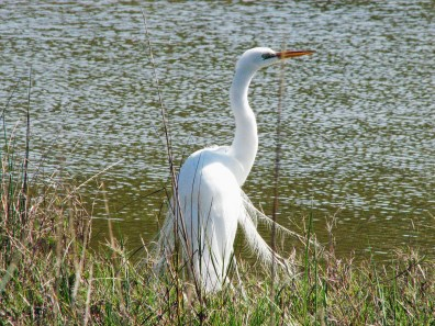 We might enjoy a great white egret