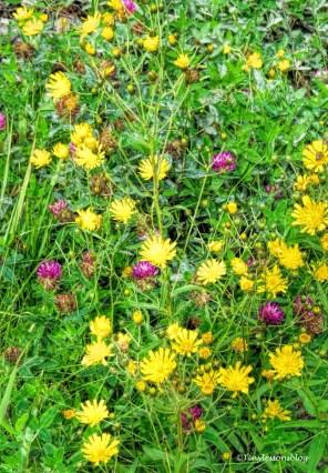 wild flowers 2 Finland Aug16 UD75