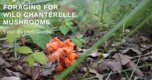 Foraging For Wild Chanterelle Mushrooms
