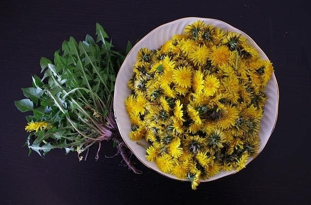 Foraged dandelion heads separated from the greens