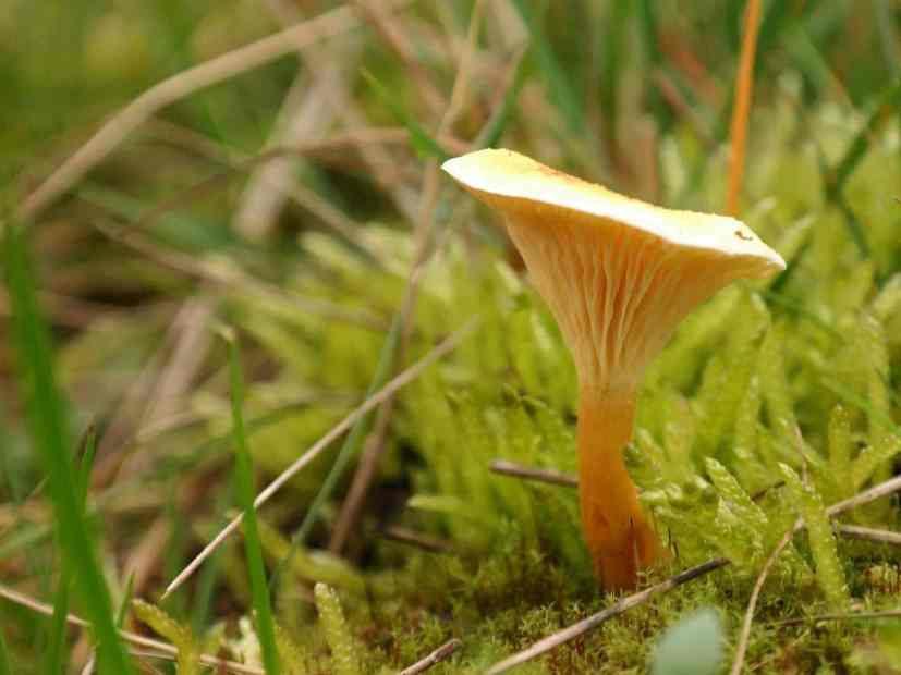 false chanterelle mushroom