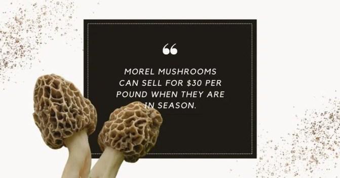 wild morel mushrooms