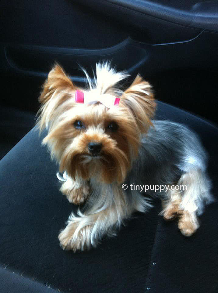 How To Cut A Yorkie Haircut Hairstly
