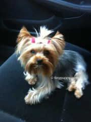 yorkie haircuts and hairstyles