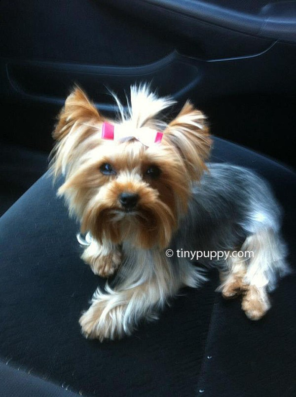 30 Mini Yorkie For Hairstyles Hairstyles Ideas Walk The Falls