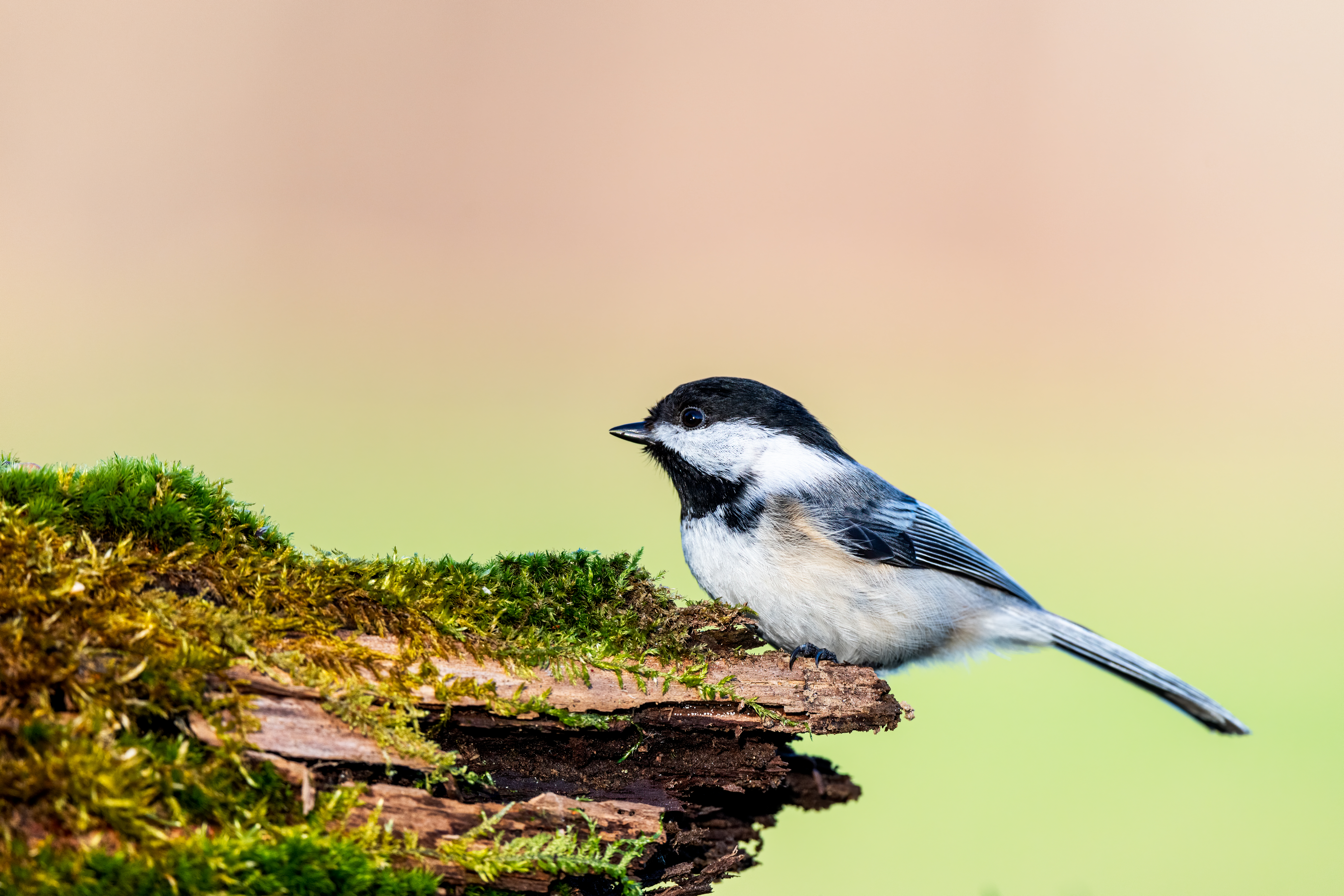 Black capped chickadee on mossy tree trunk