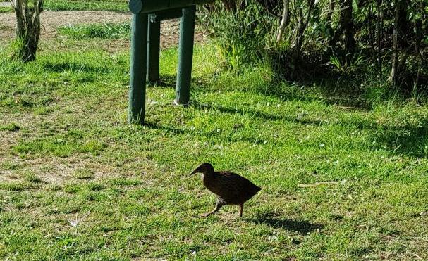 Te Araroa Trail Weka on the Queen Charlotte track